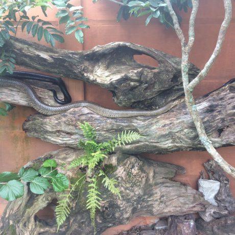 Forest-cobra-(3)